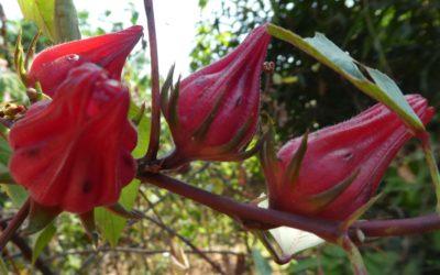 KAGARKO Hibiscus Cooperative